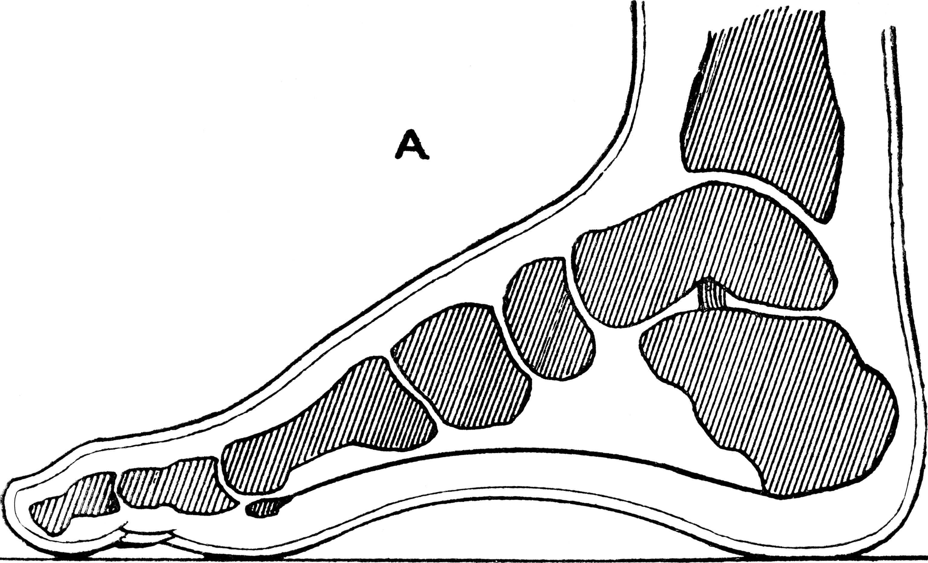 Heel anatomy